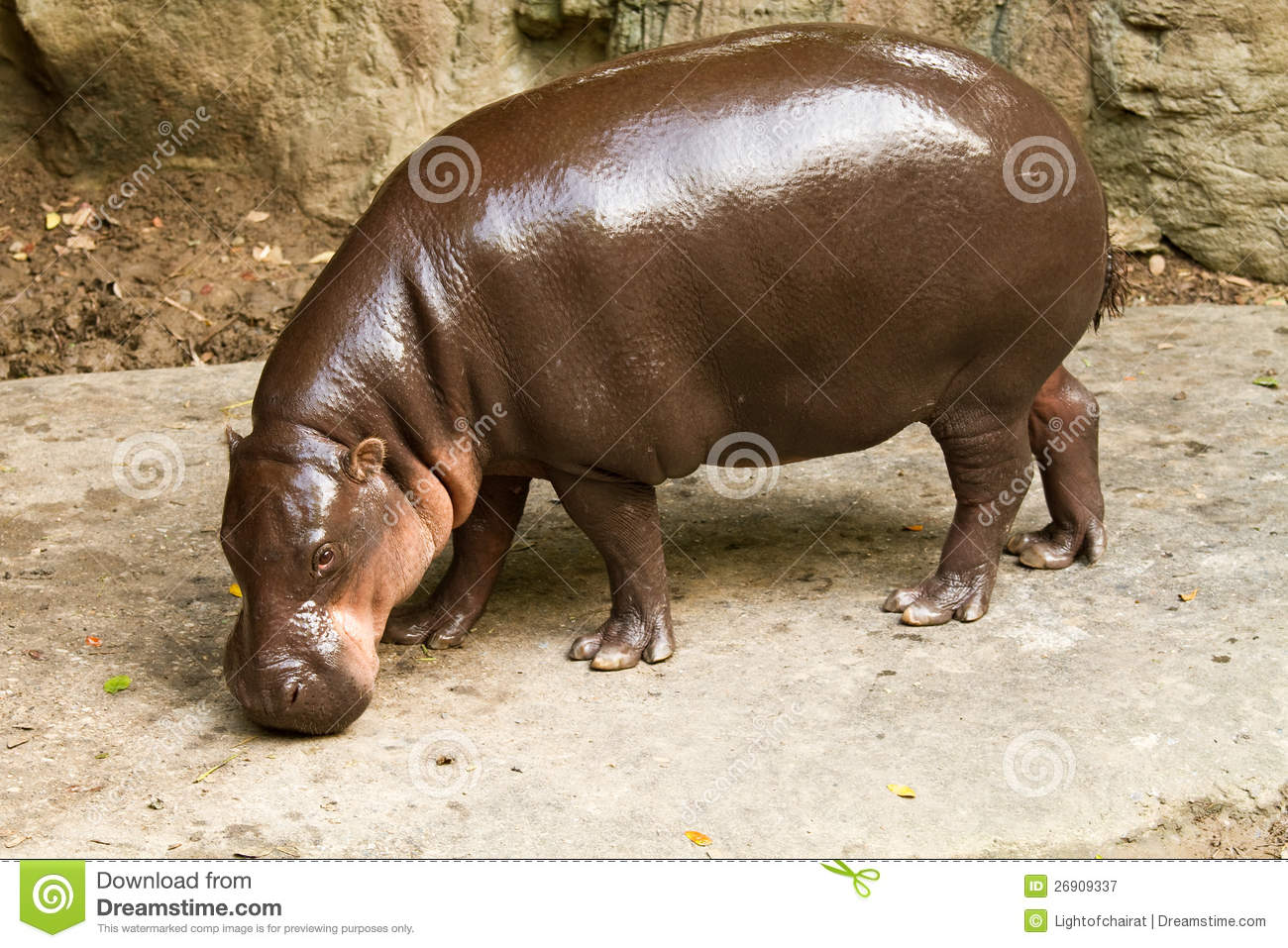 Hippopotamus Eating Grass Stock Photo - Image: 23596010 |Hippo Eating Grass