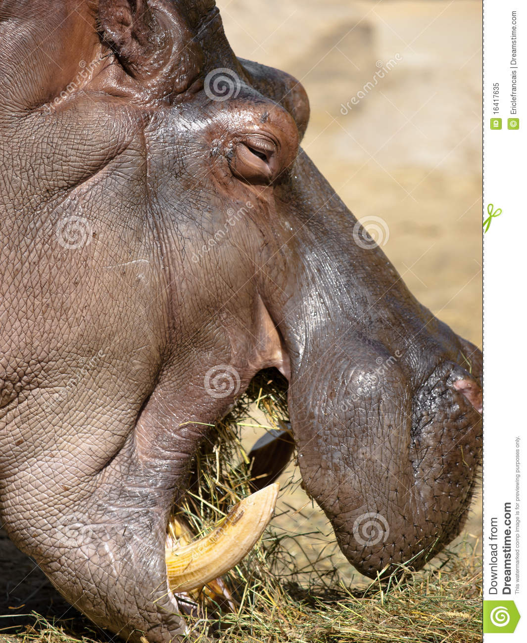 CURIOUS FACTS CONTEST #6: Interesting Facts about Hippos ... |Hippo Eating Grass