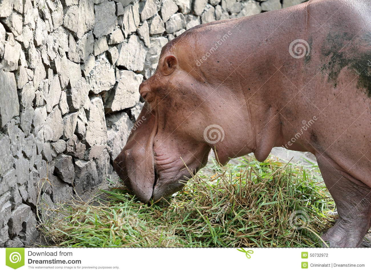 Hippopotamus eating grass. Large male hippo grazing in the ... |Hippo Eating Grass