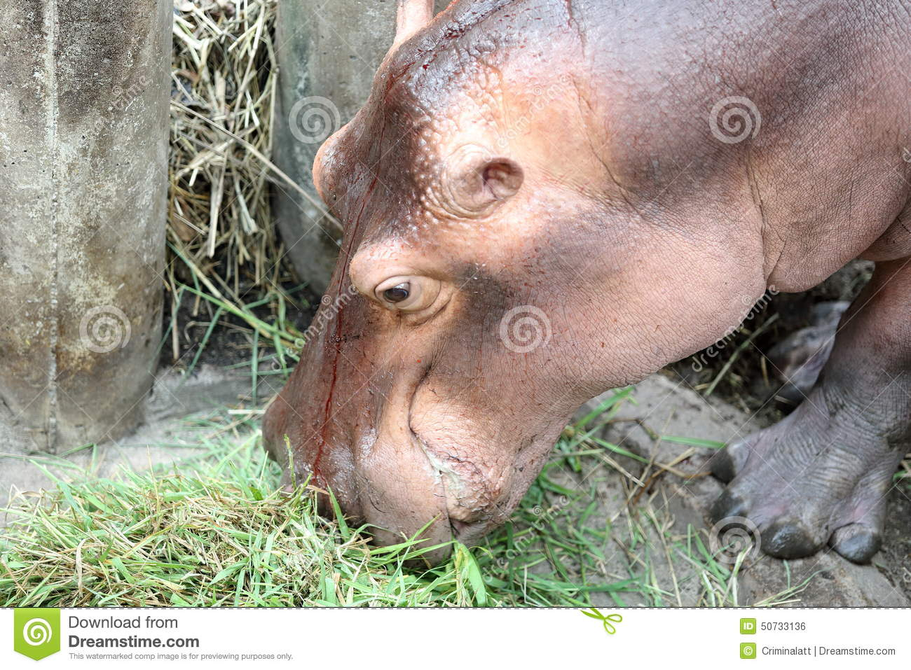 Eating Habits - All I Want Is A Hippopotamus |Hippo Eating Grass