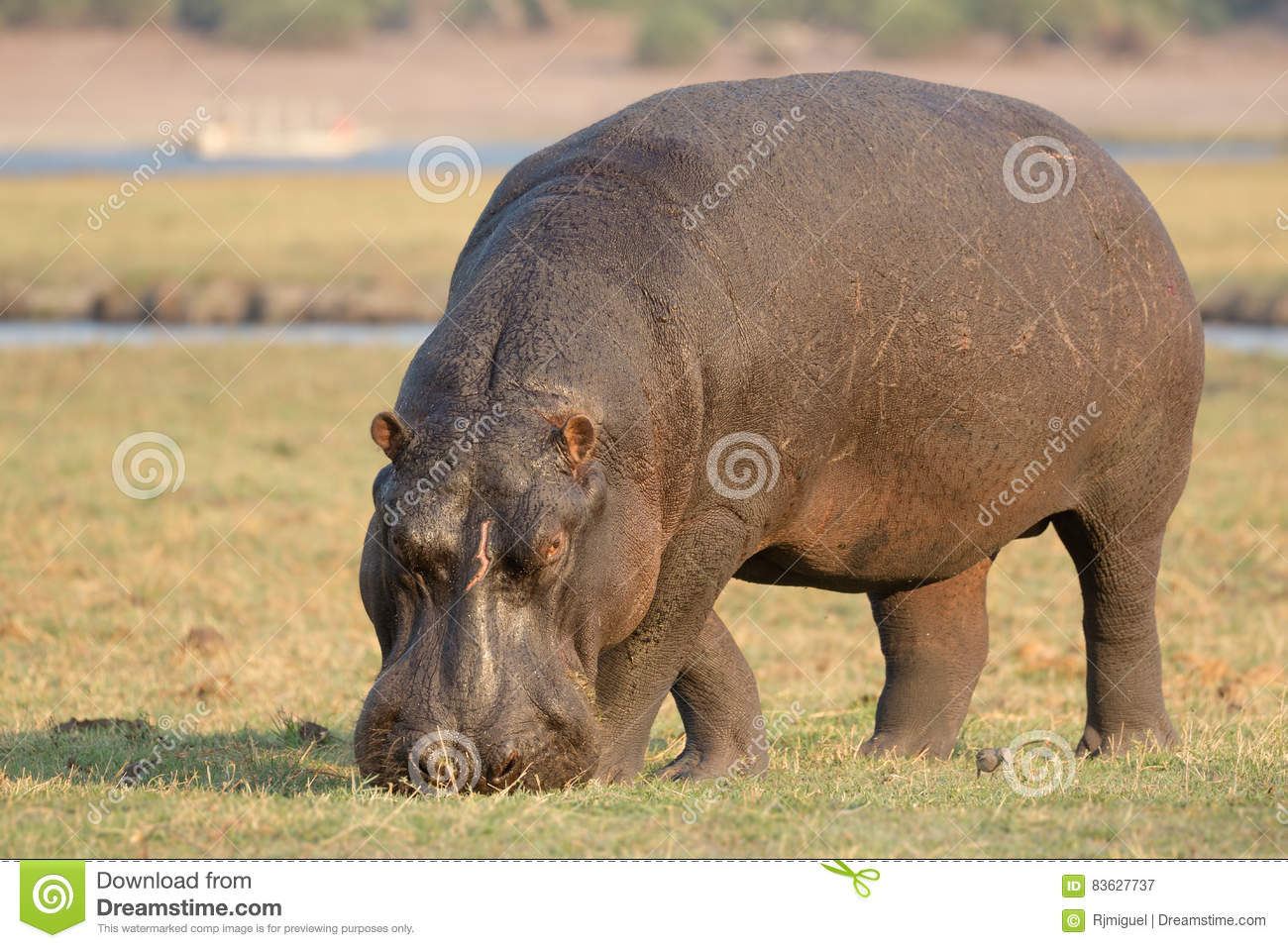 Hippo eating grass - Stock Photo - Dissolve |Hippo Eating Grass