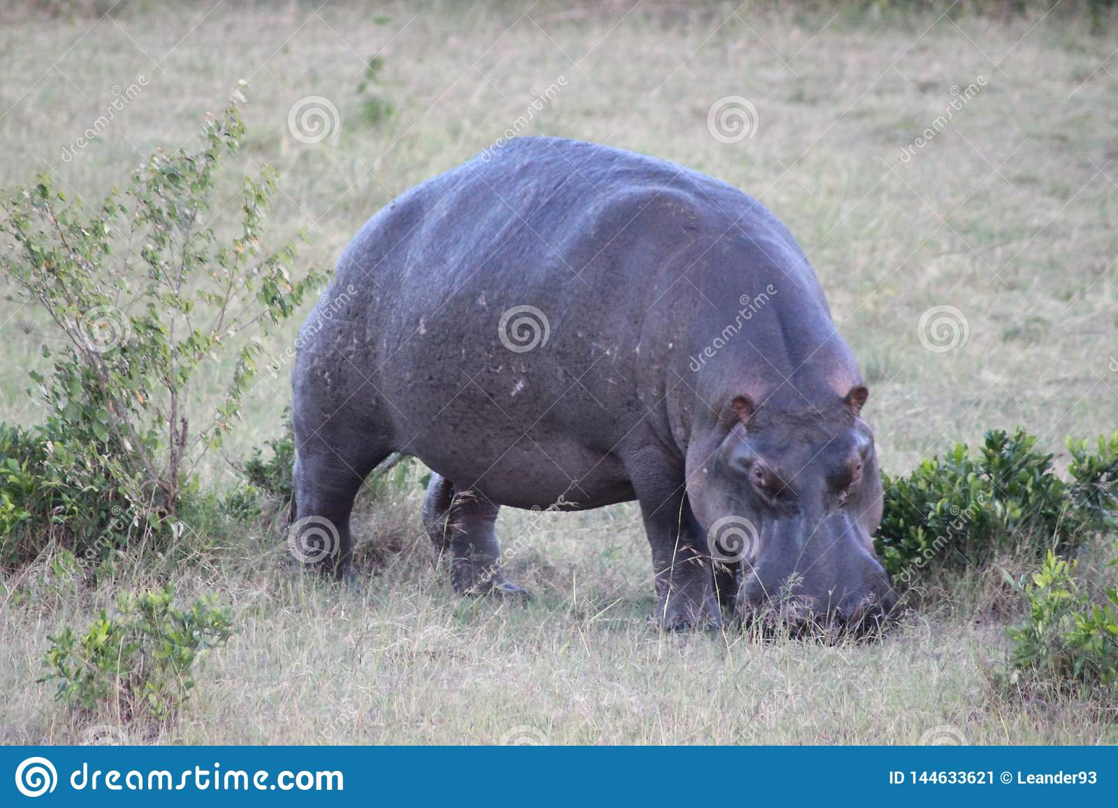 Hippo grazing grass on the savanna