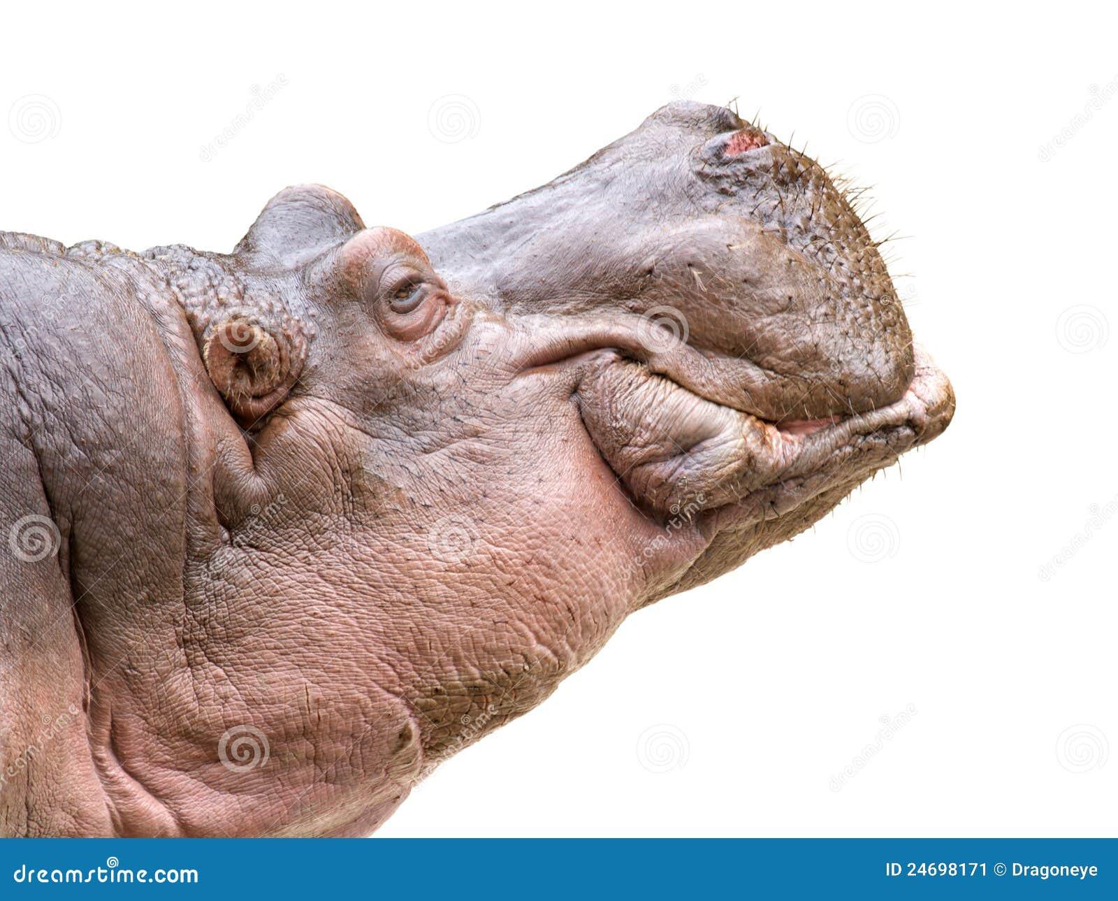 Hippo Head On White Stock Image - Image: 24698171