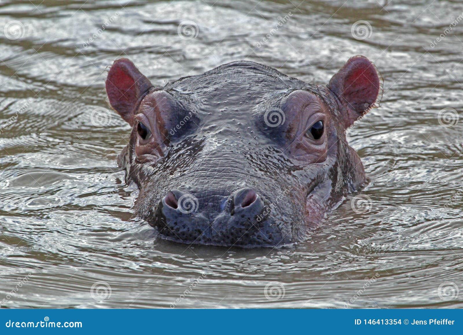 Hippo in het water, iSimangaliso Nationaal Park, Zuid-Afrika