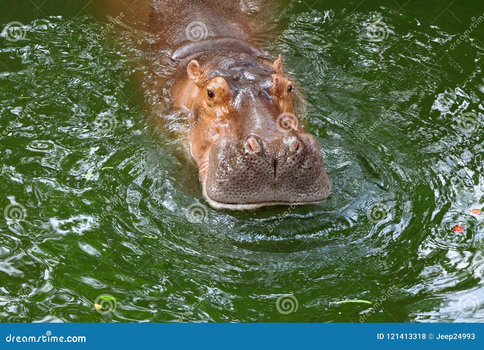 Hippo / The hippopotamus, or hippo, mostly herbivorous mammal in