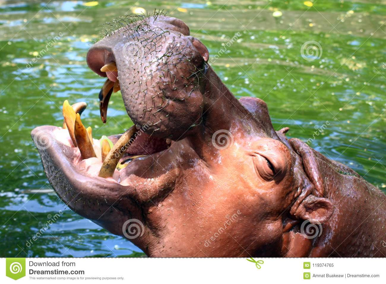 Hippo, Hippopotamus open mouth, Hippopotamus in water close up