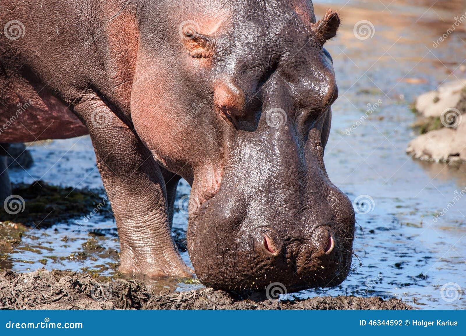 Hippo (Nijlpaardamphibius)