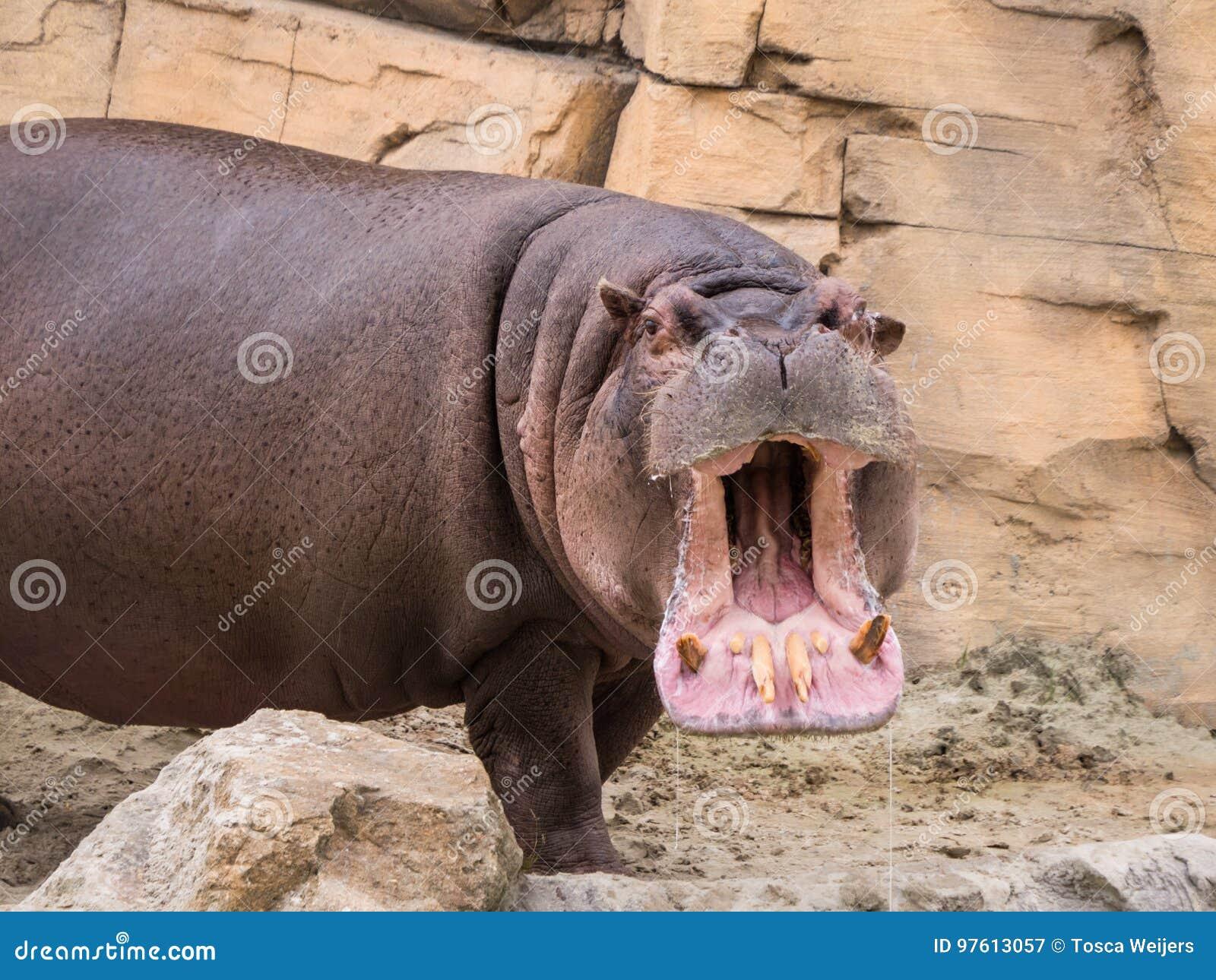 Hippo opent zijn mond
