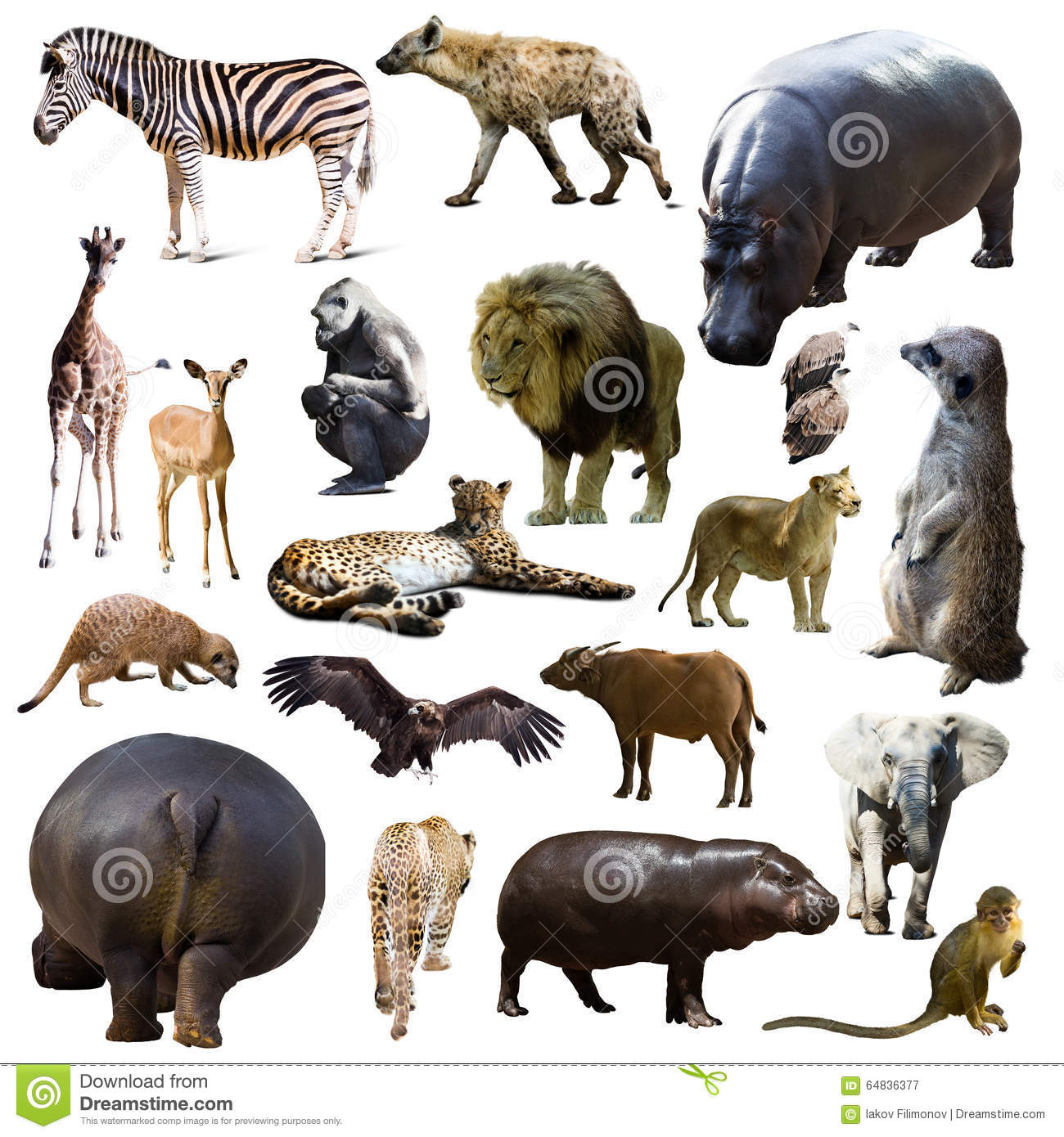 hippo and other african animals isolated stock image