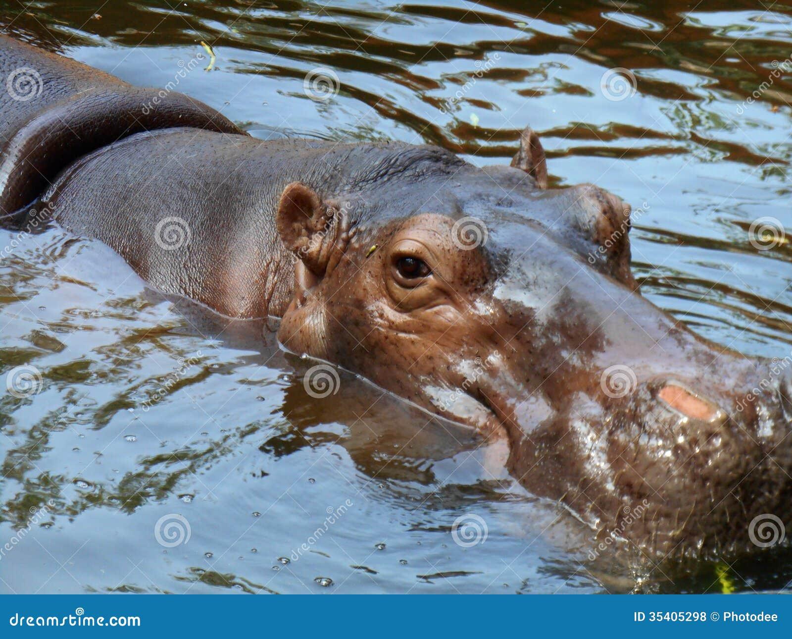Hippo portrait