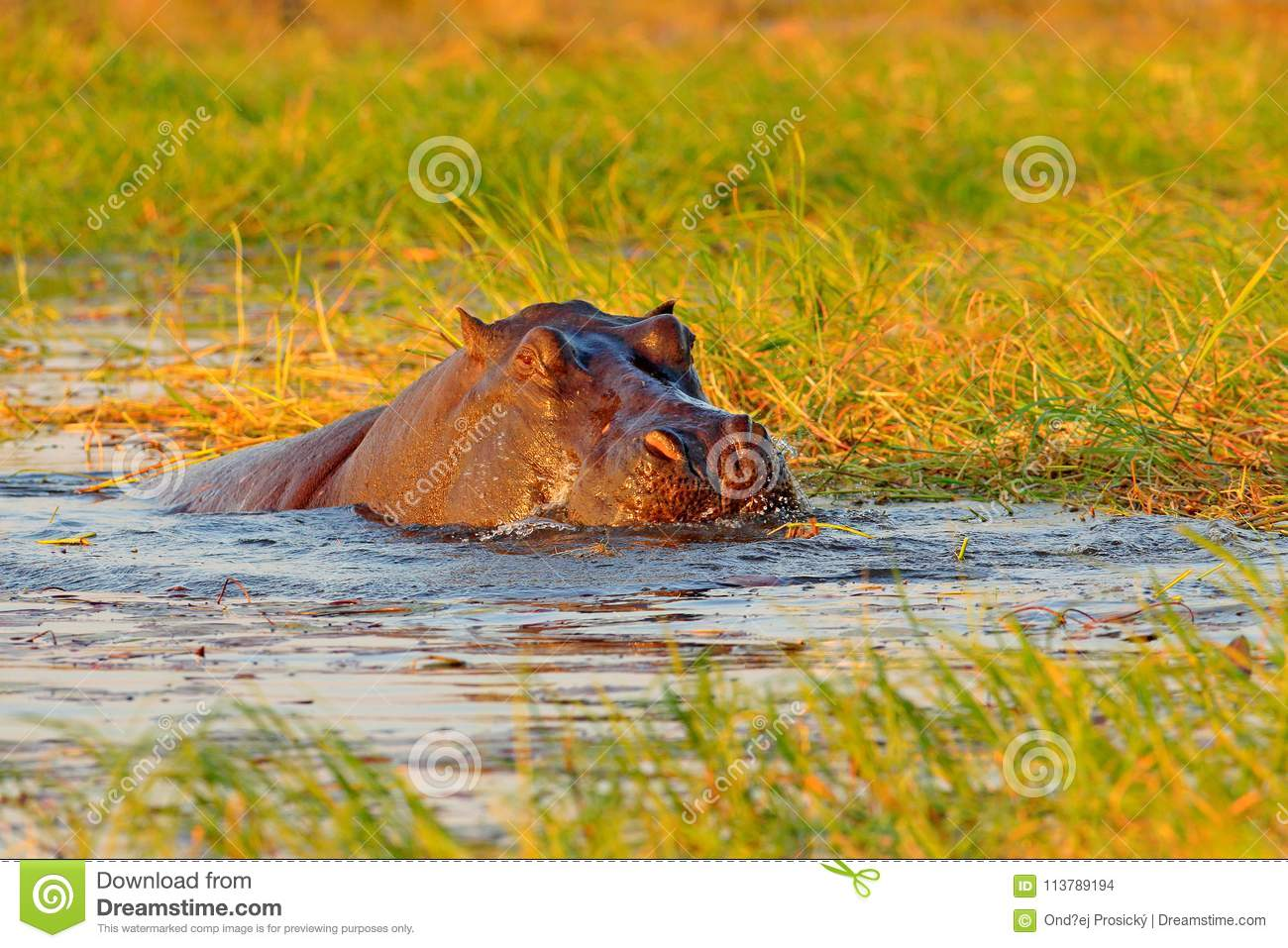 Hippo in river water. Wildlife Africa. African Hippopotamus, Hippopotamus amphibius capensis, with evening sun, animal in the natu