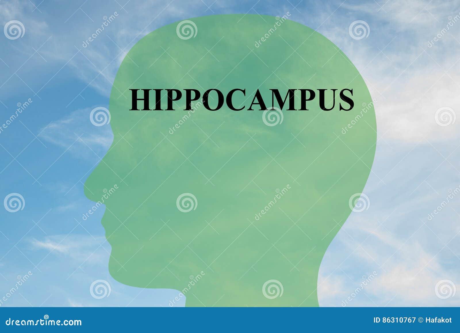 Hippocampus - Brain Anatomy Concept Stock Illustration ...