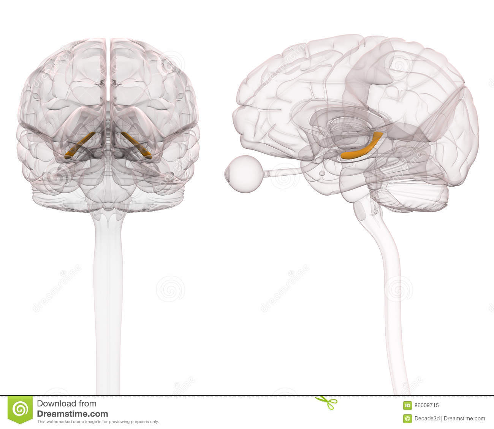 Hippocampus Brain Anatomy - 3d Illustration Stock Illustration ...