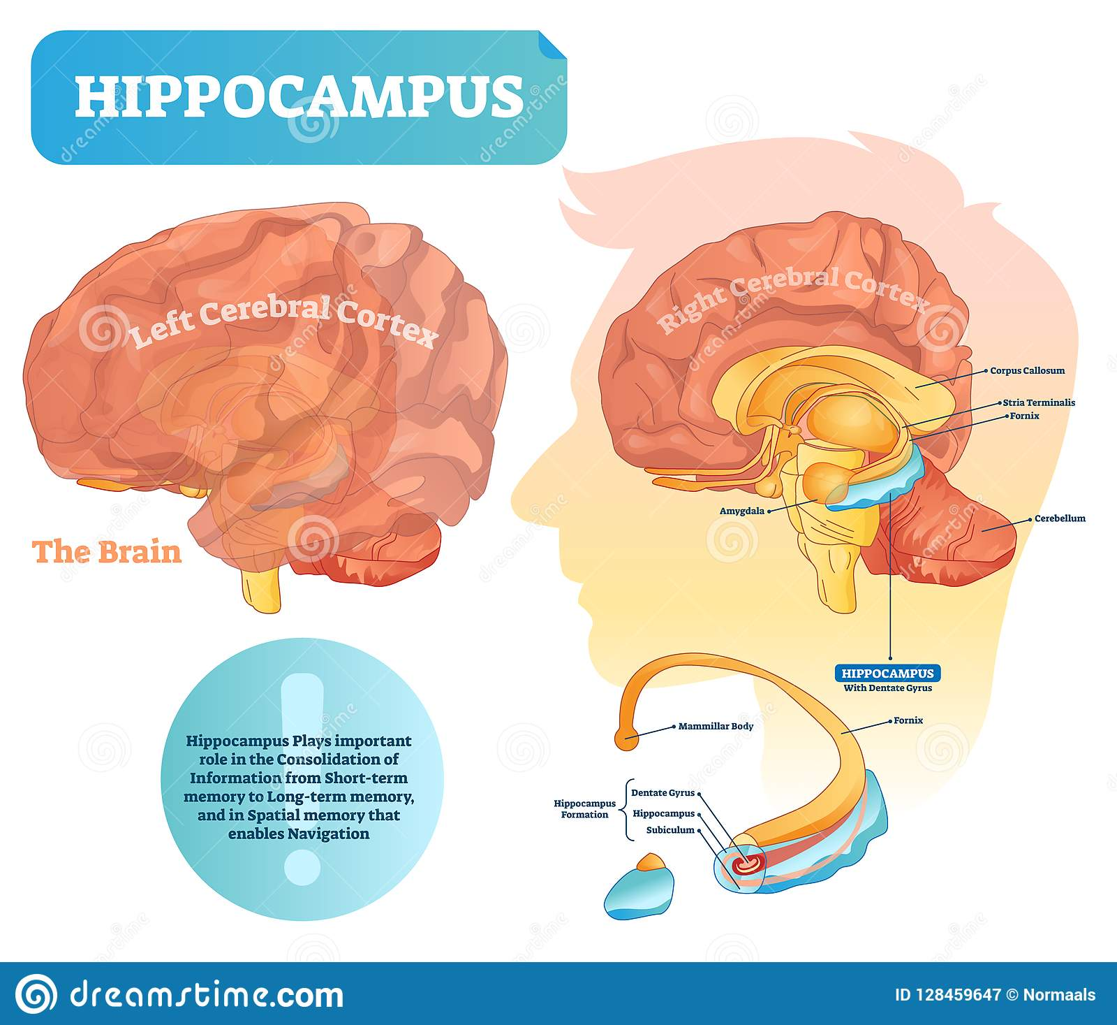 hippocampus vector illustration labeled diagram isolated closeup structure location formation division dentate gyrus 128459647 hippocampus vector illustration labeled diagram with isolated