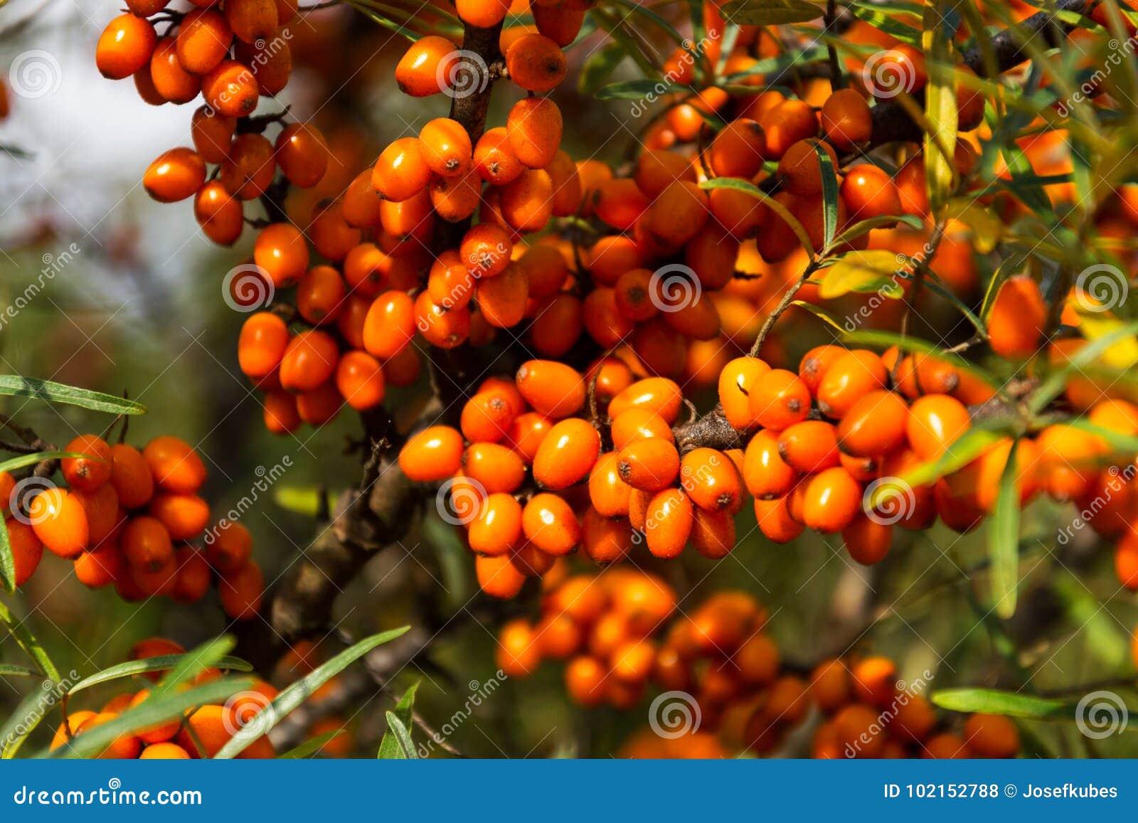 Hippophae rhamnoides också som är bekanta som gemensam buske för havsbuckthorn