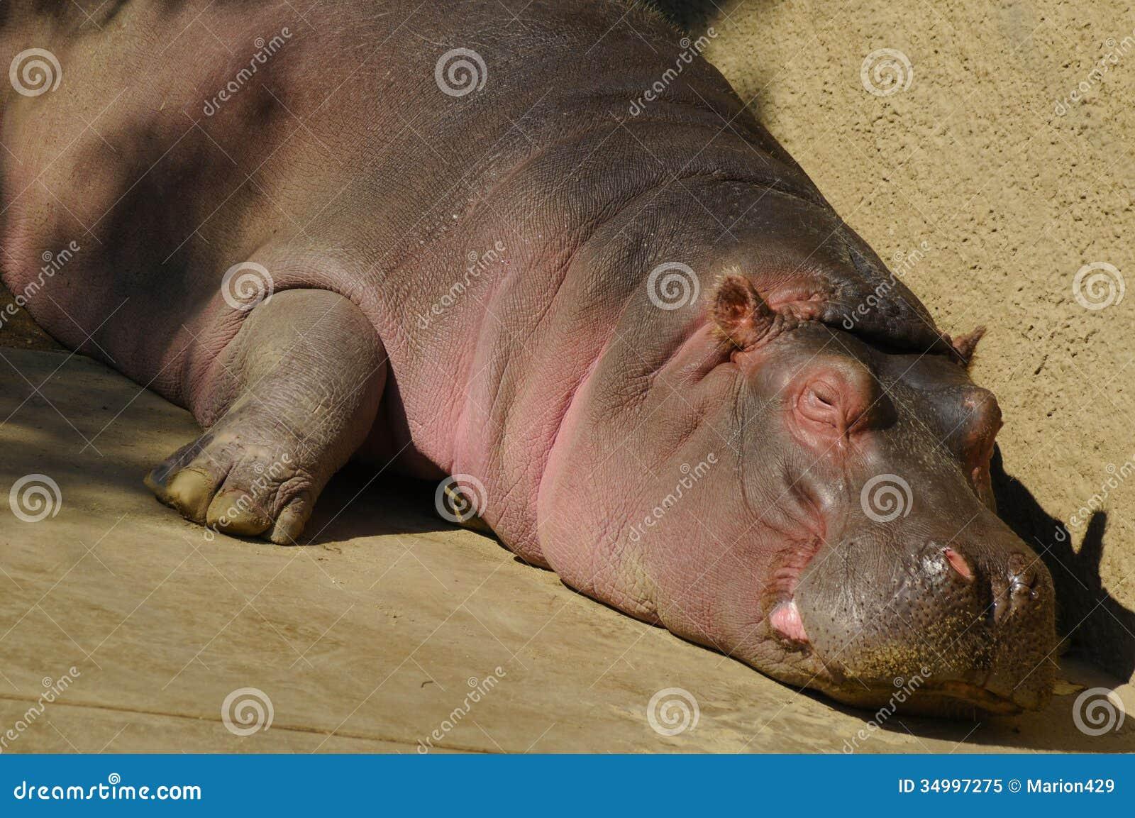l'animal de Martin du 24 janvier trouvé par Martine Hippopotame-34997275