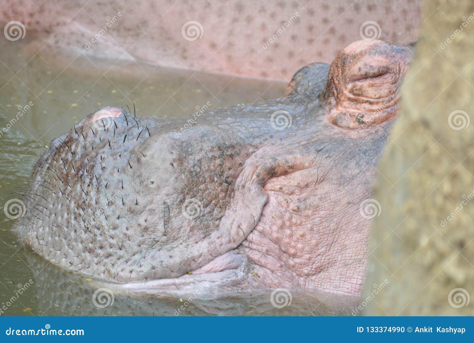 Hippopotame de bébé de sommeil dans l étang d eau