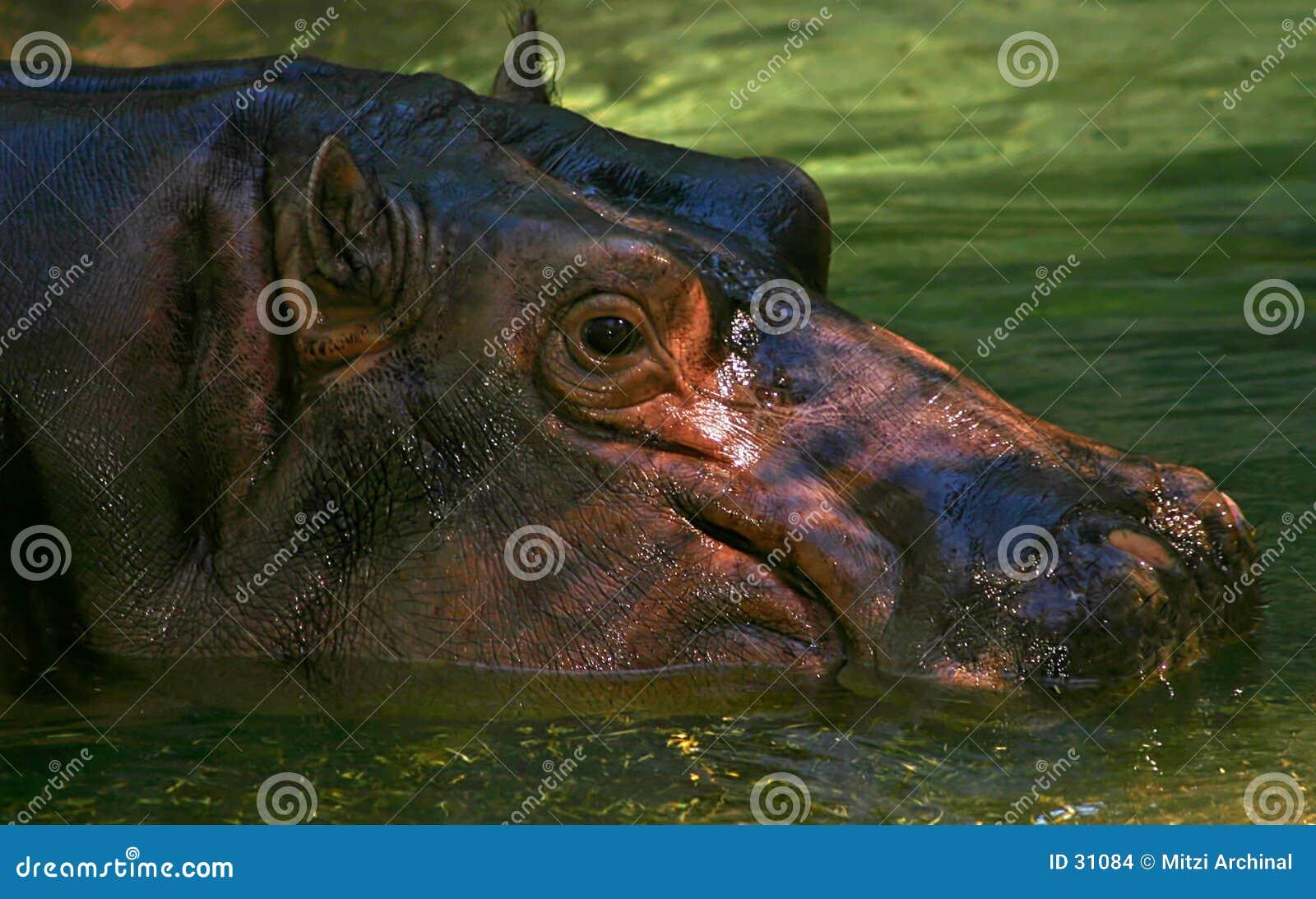 Hippopotame de sourire