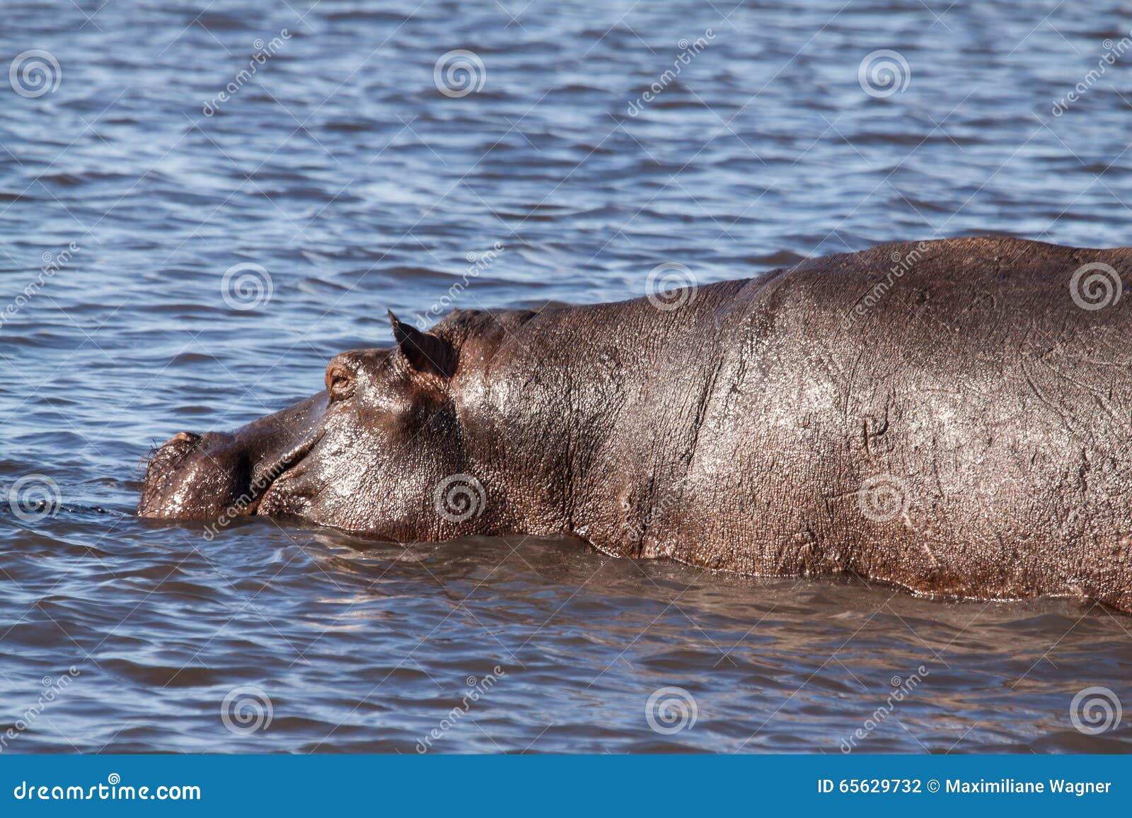 Hippopotame simple dans la piscine d hippopotame de la rivière de Chobe, Botswana