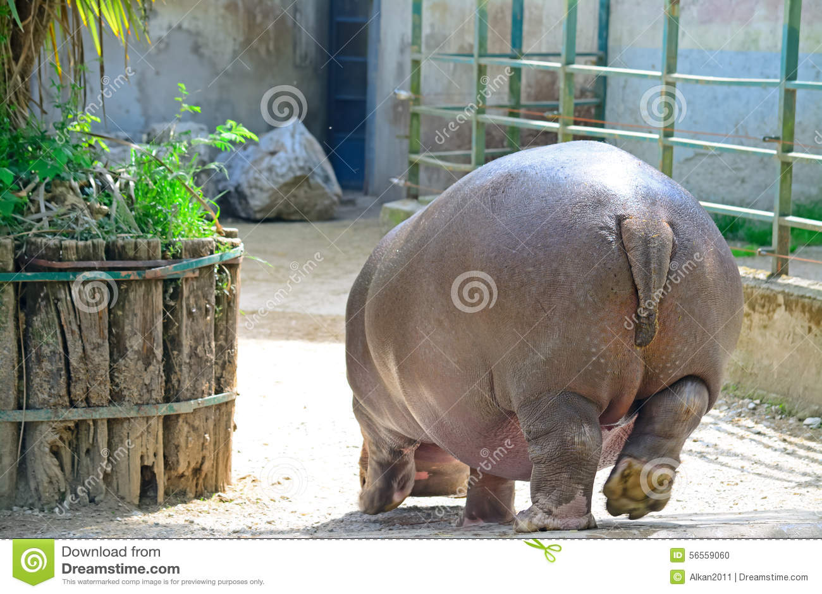 Download Hippopotamus που βλέπει από πίσω σε έναν ζωολογικό κήπο Στοκ Εικόνες - εικόνα από μεγάλη, ουρά: 56559060