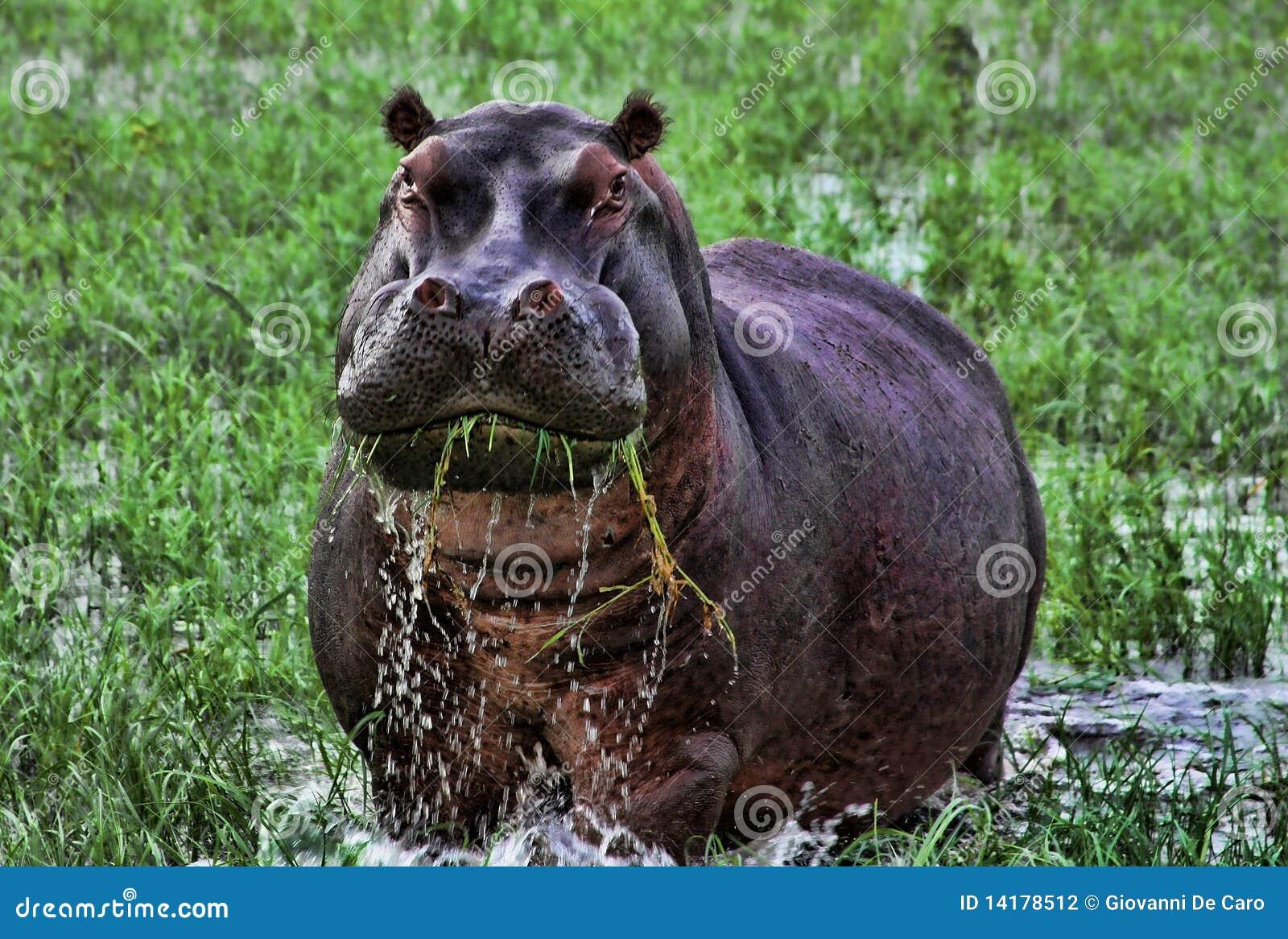 Hippopotamus Африки сердитый