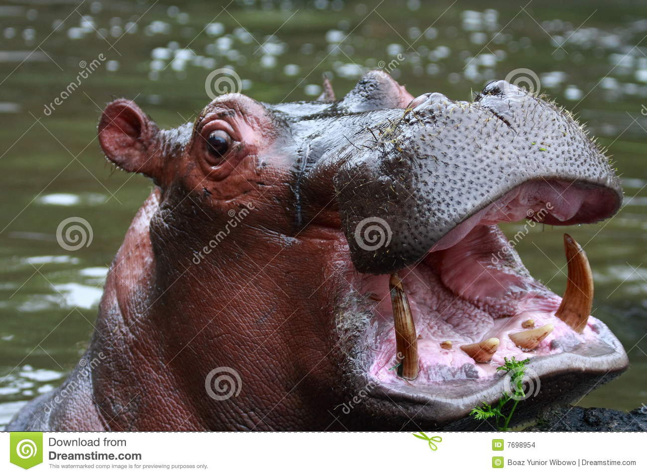 The hippopotamus (Hippopotamus amphibius), often shortened to \hippo ...