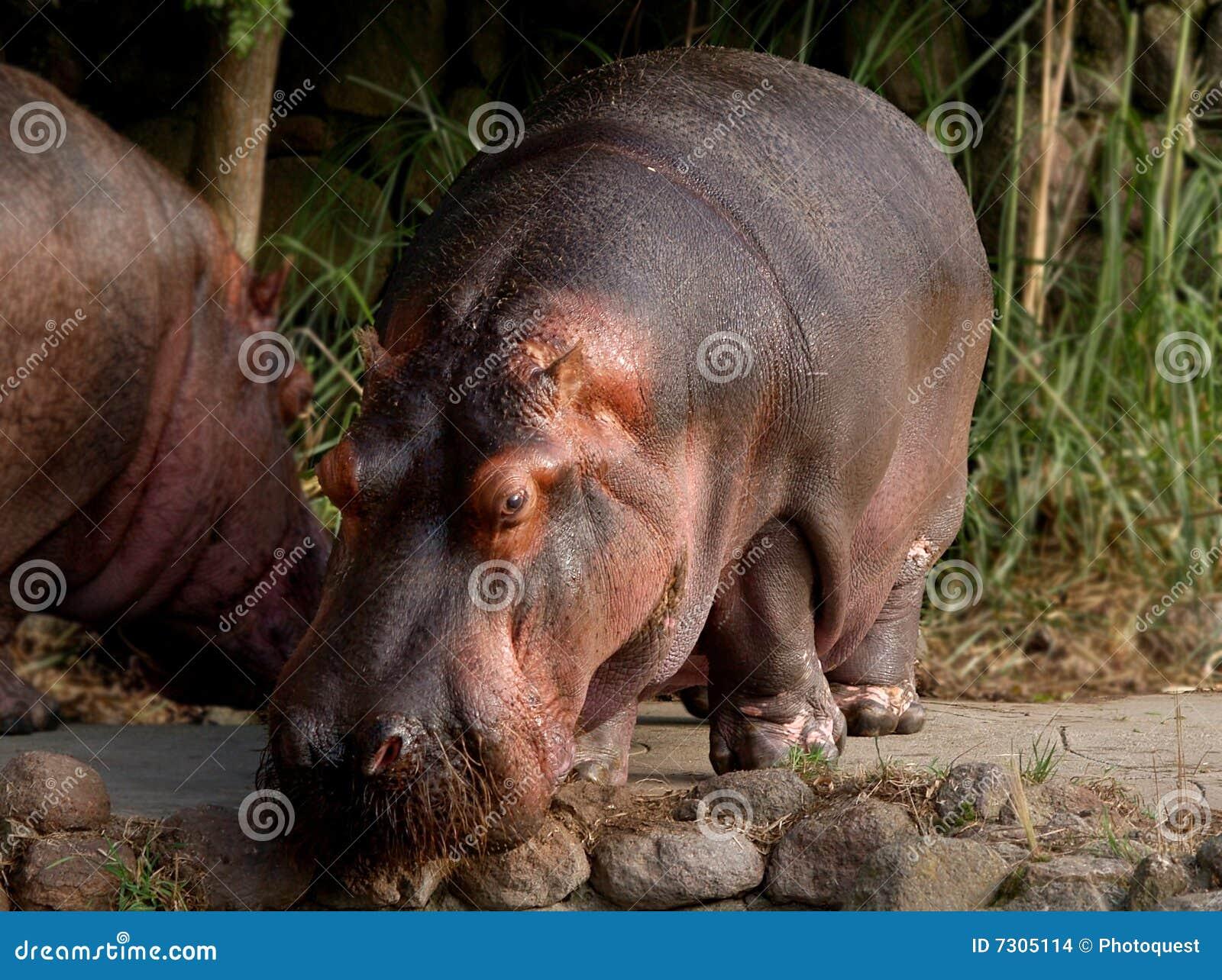 Hippopotamus del Nilo