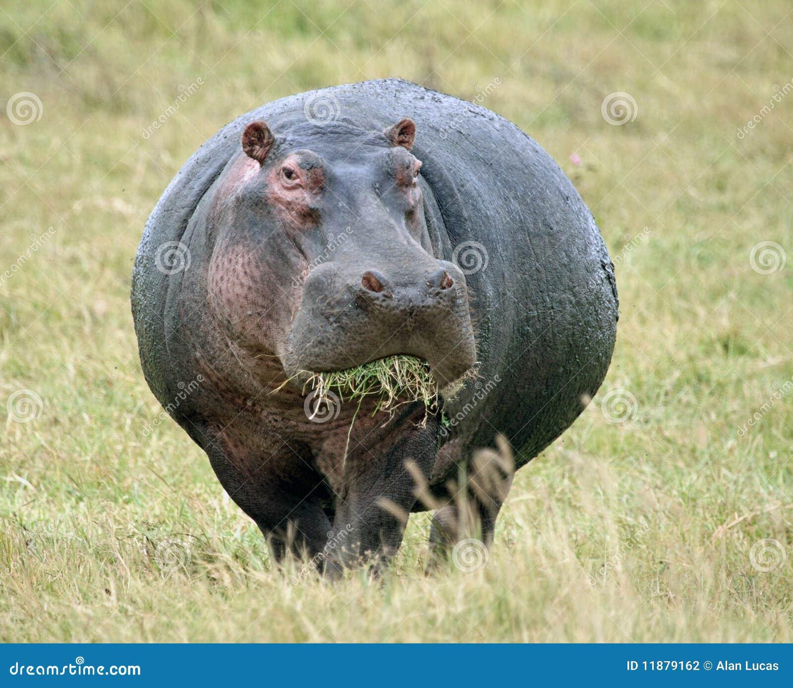 Hippopotamus Eating Grass Stock Photography - Image: 11879162