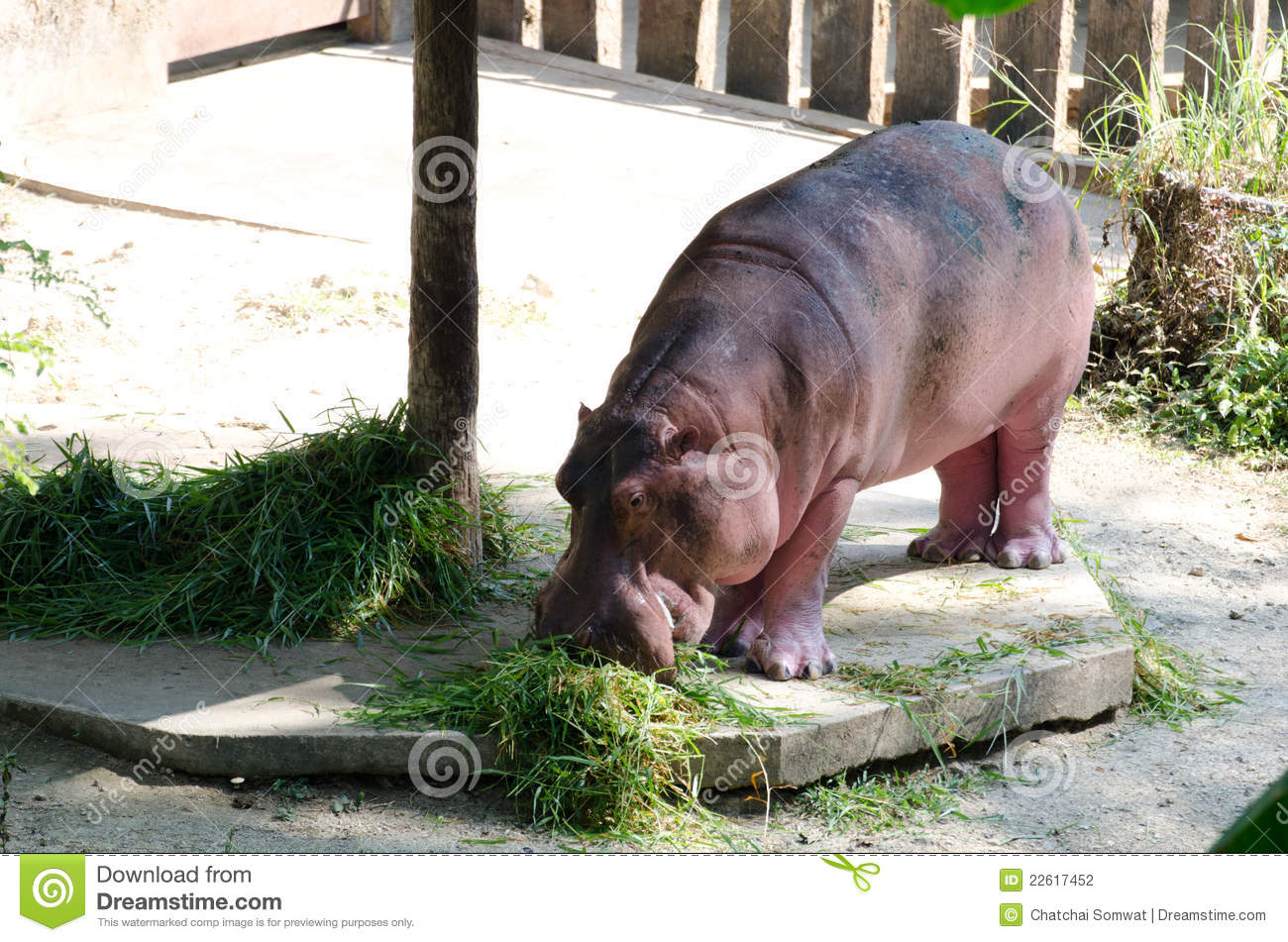 Gray Hippo Stock Photos, Images, & Pictures – (510 Images) |Hippo Eating Grass
