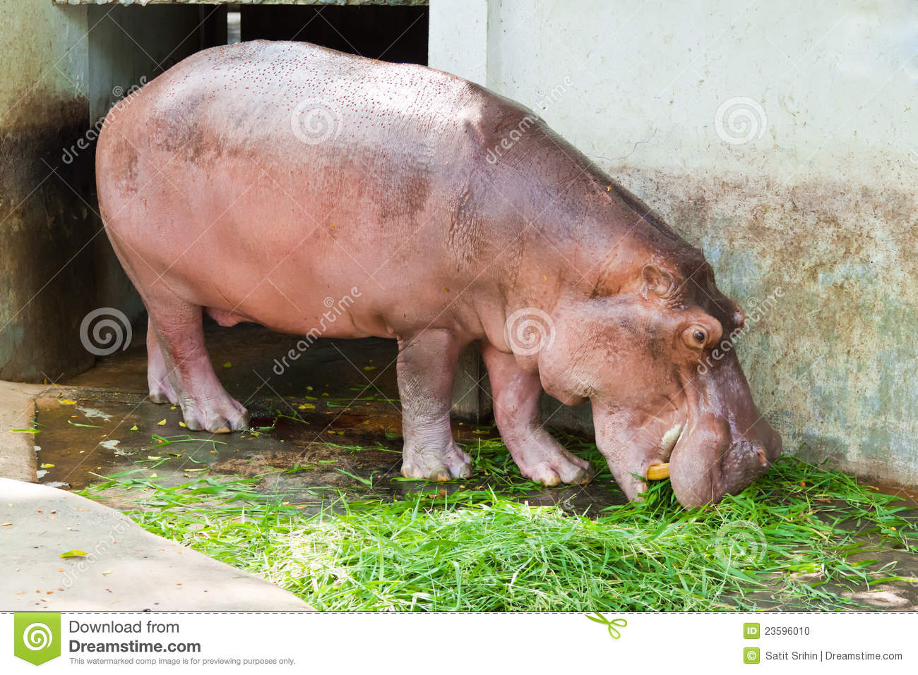 Hippo Is Eating Grass Stock Photo - Download Image Now ... |Hippo Eating Grass