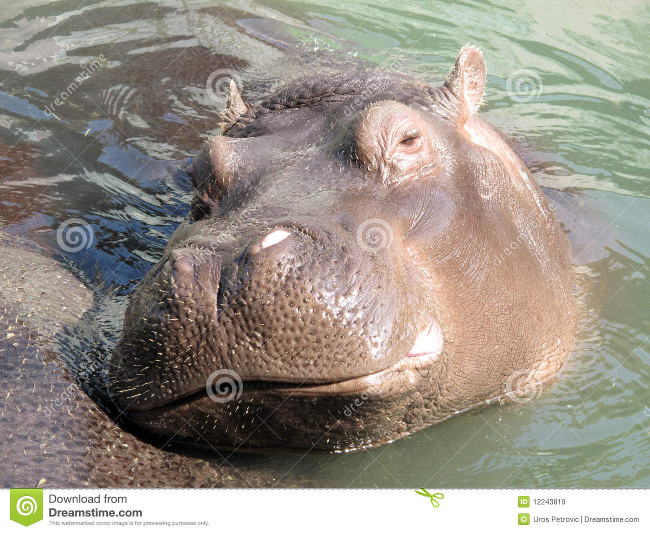 Image result for royalty free images hippos