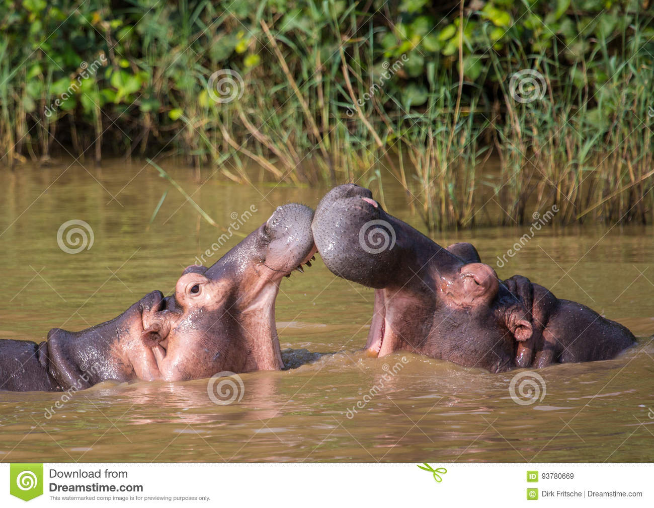 Hippopotamus mother kissing with her child in the water at the ISimangaliso Wetland Park