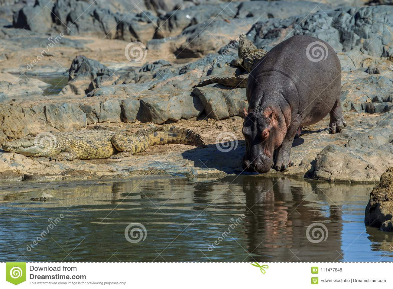A Hippopotamus with a Nile crocodile in its path