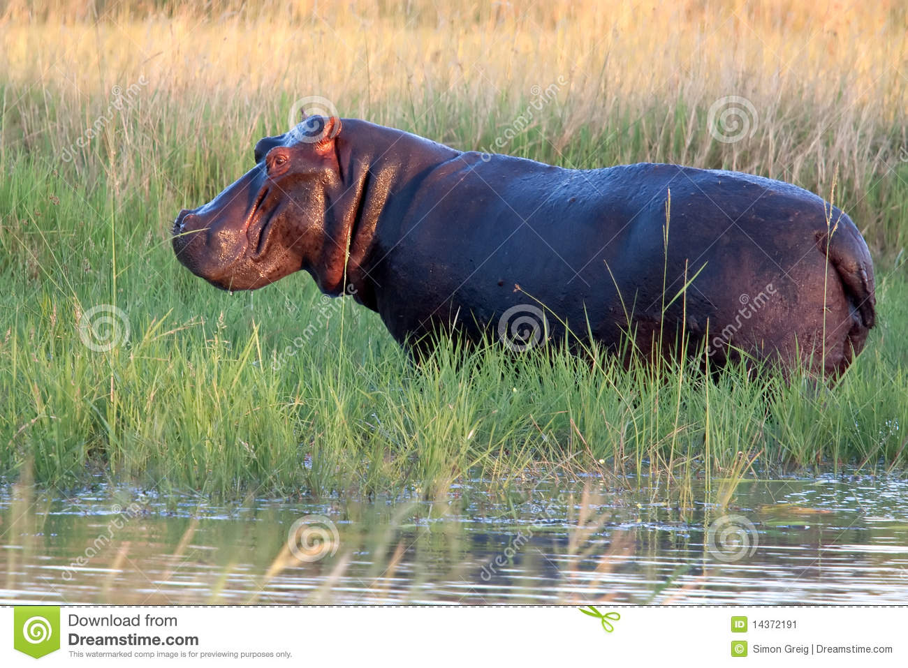 Hippopotamus Out of the Water