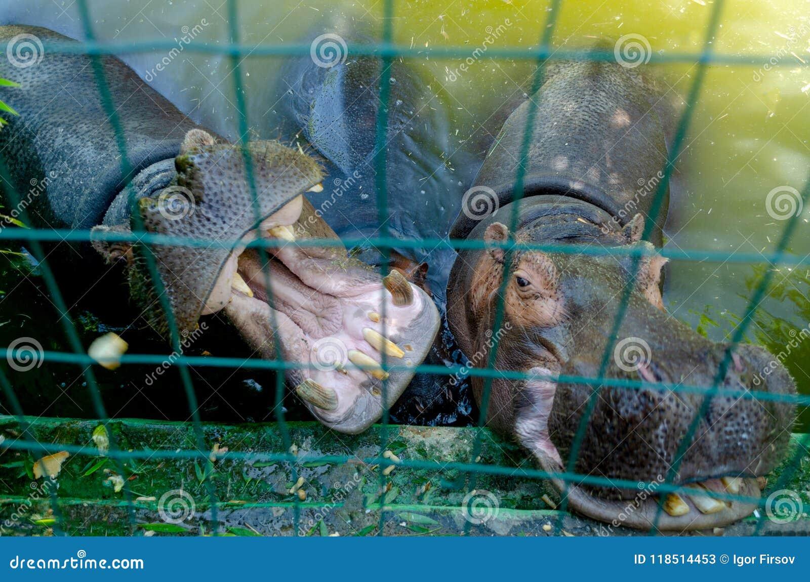 Hippopotamus in the pool frica, nature, animal, wildlife lake park