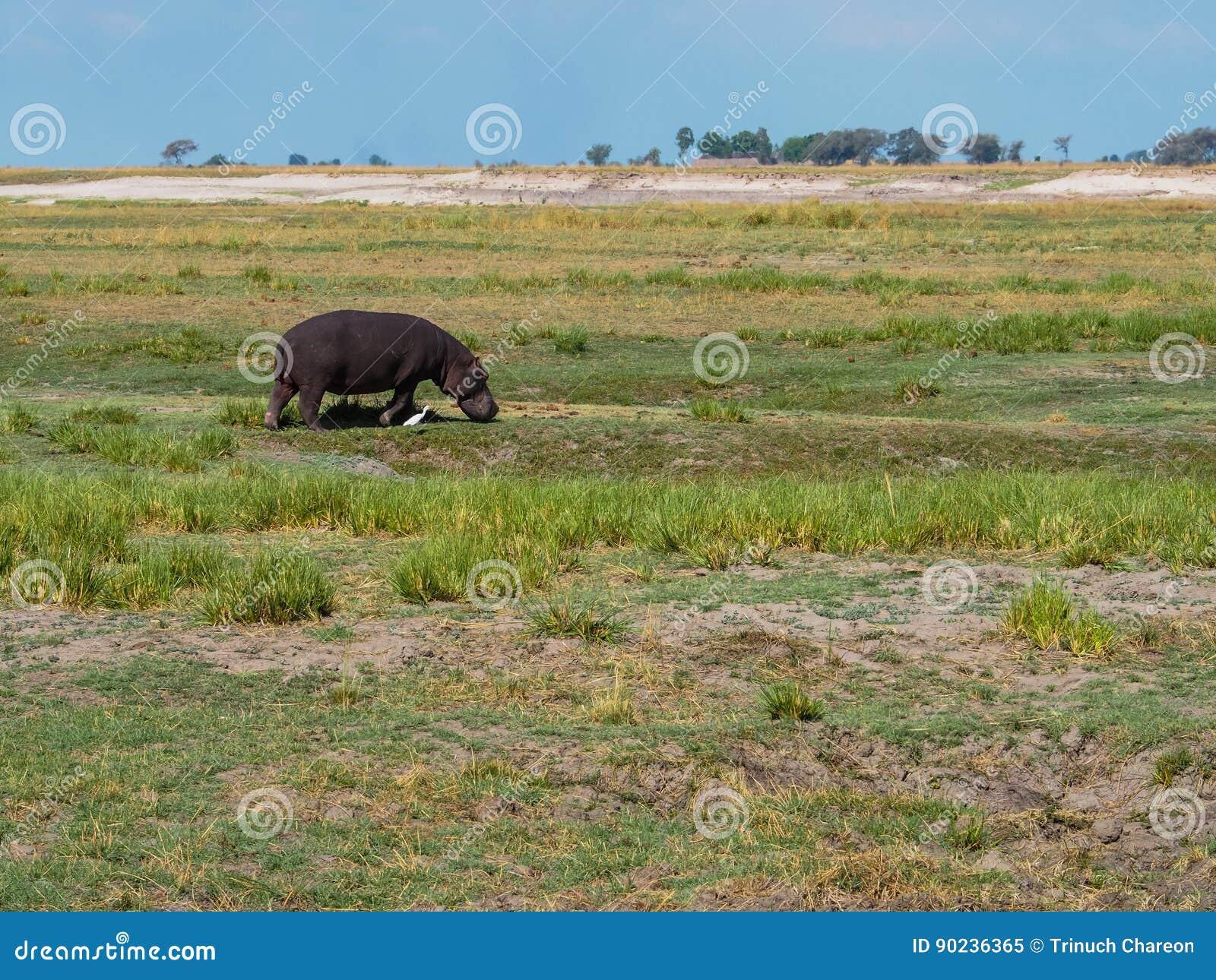 Hippopotamus walking with white egret bird in their habitat