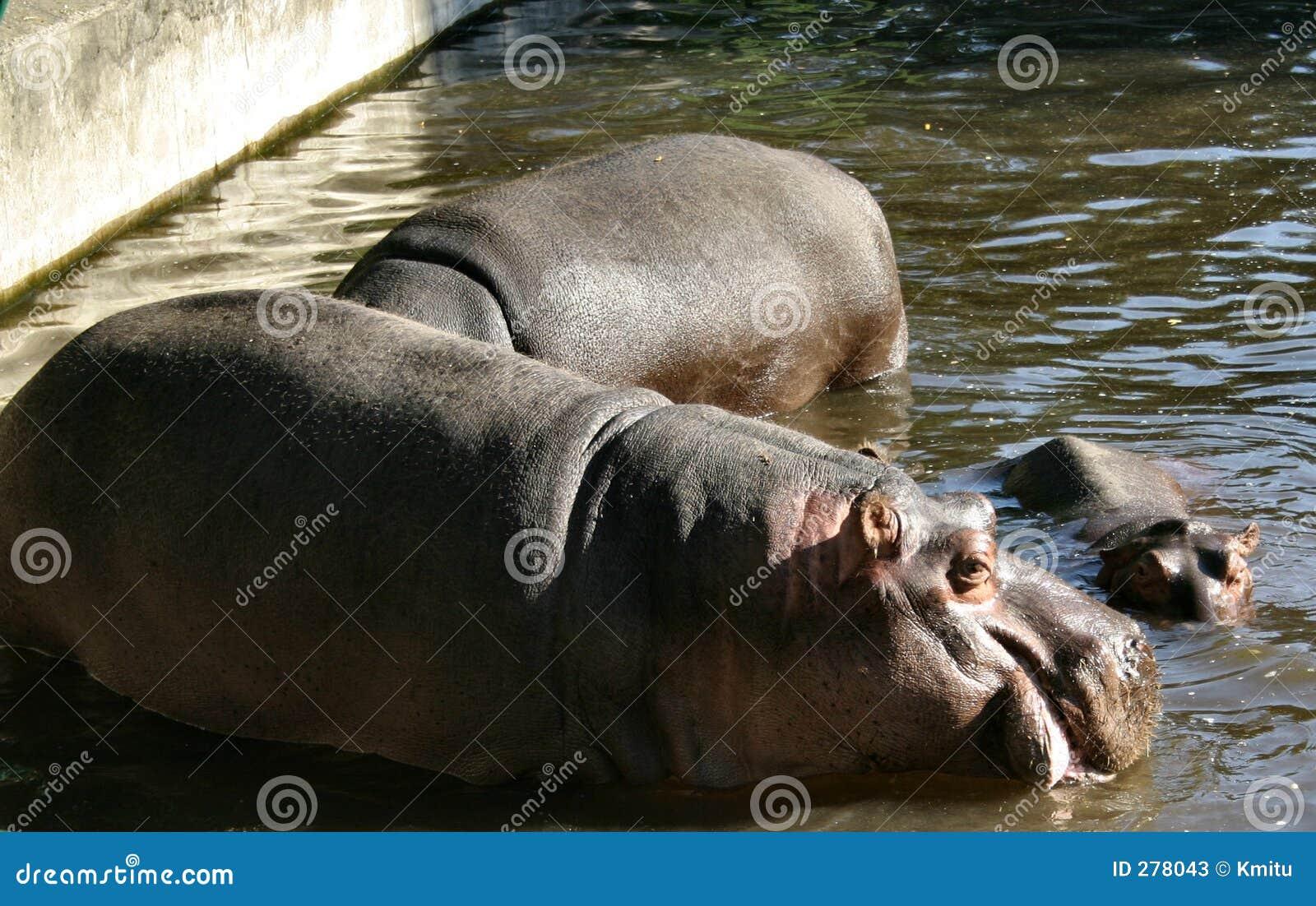 Hippos #2