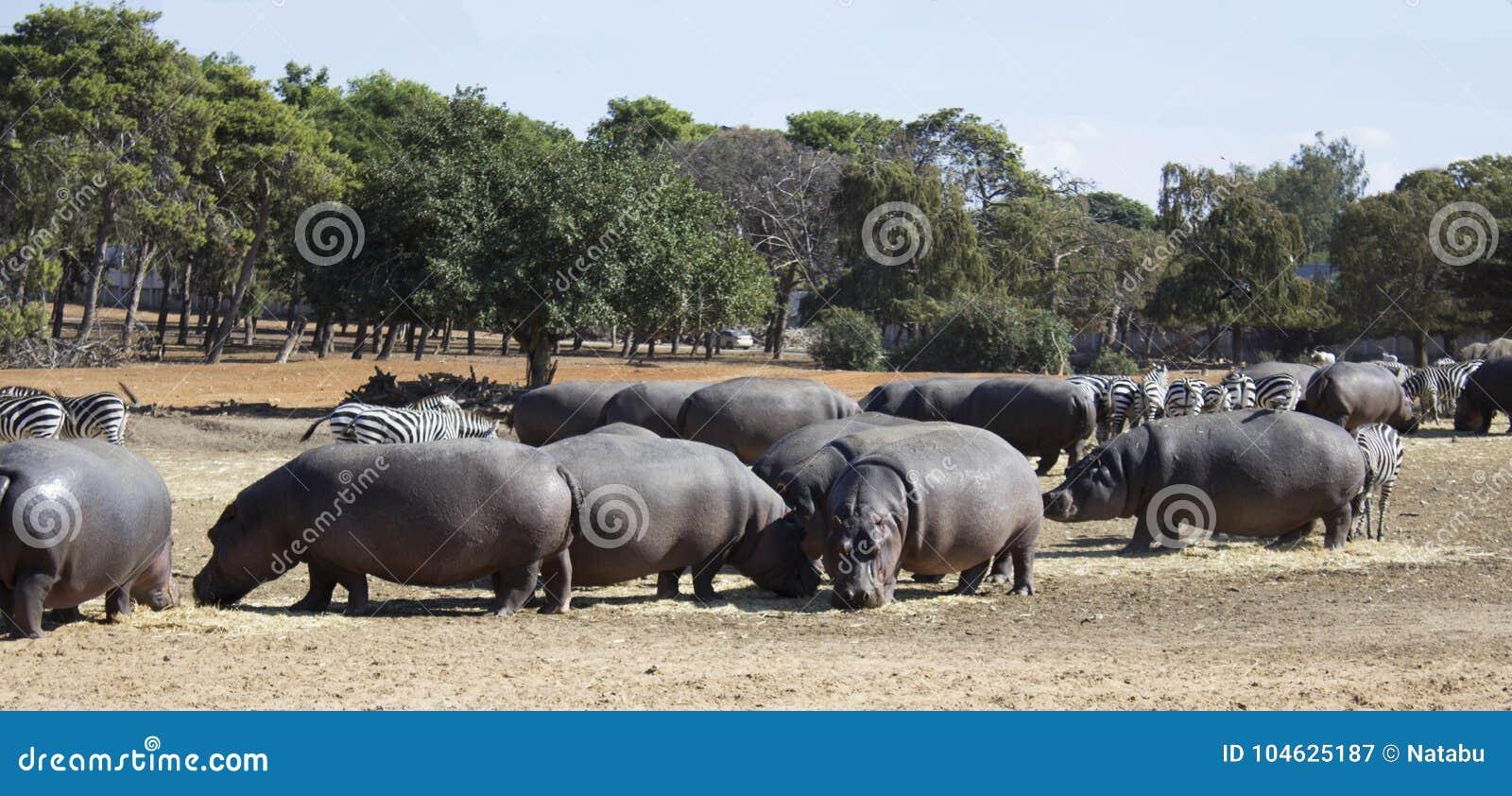 Download Hippos en zebraskudde stock afbeelding. Afbeelding bestaande uit reis - 104625187