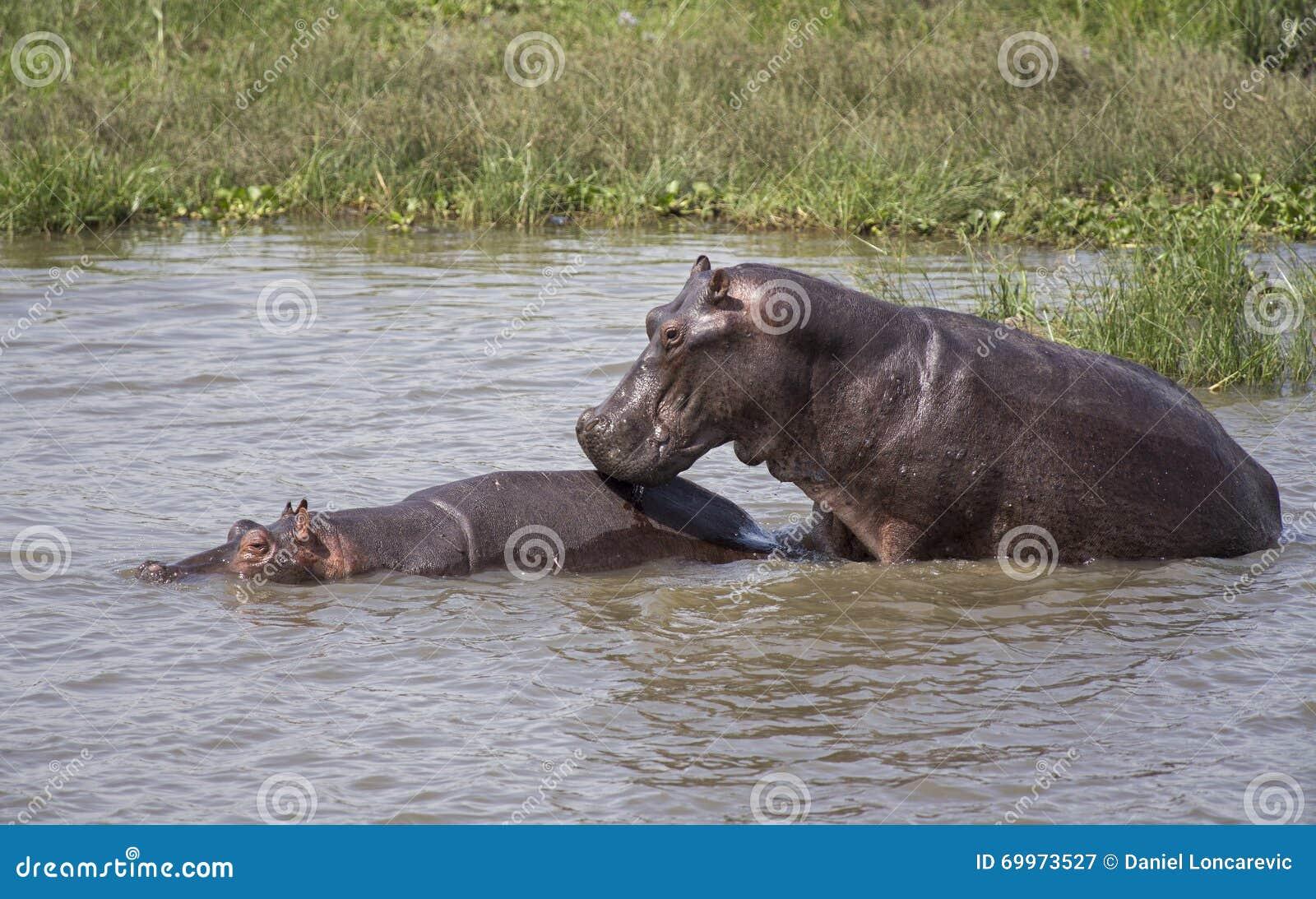 Hippos het koppelen in de rivier van Nijl