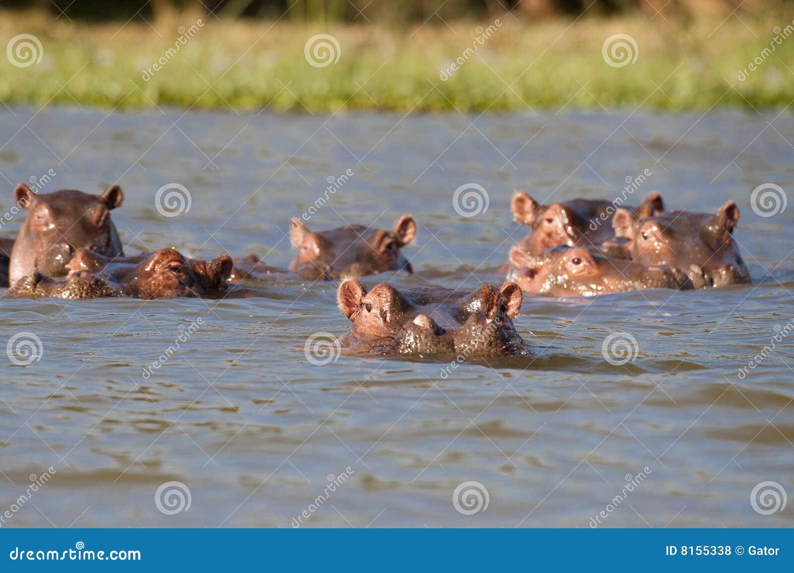 hippopotamus eating grass