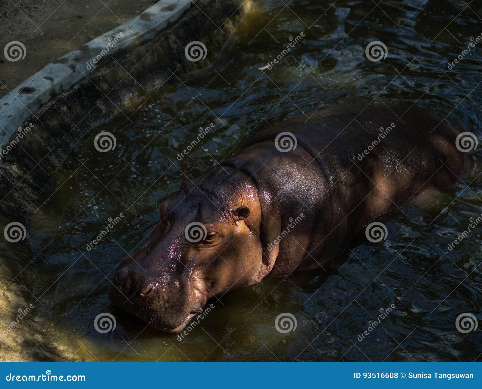 Hippotamus in Thailand