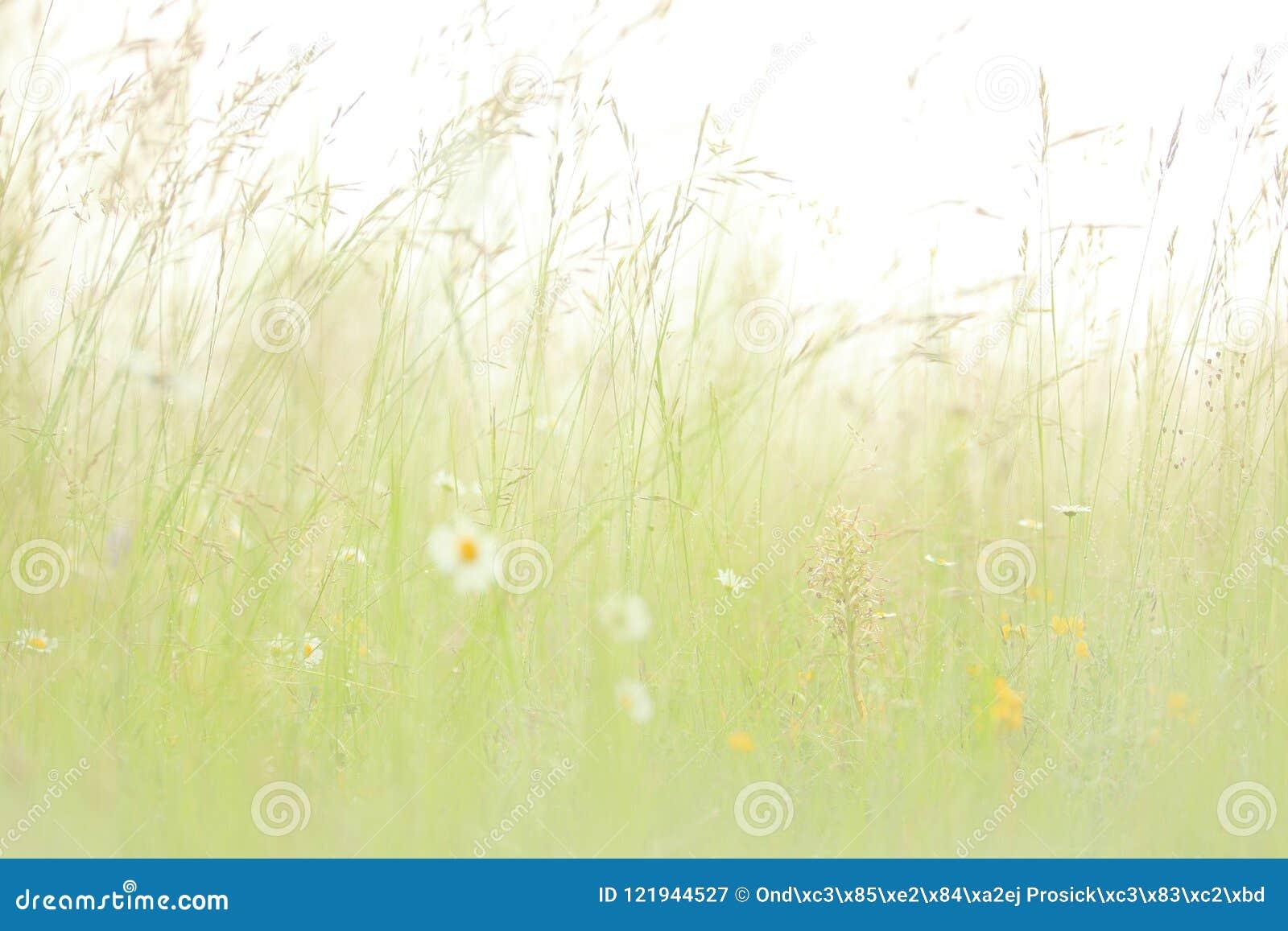 Hircinum de Himantoglossum, orchidée de lézard, détail des usines sauvages de fleur, Iéna, Allemagne Nature en Europe