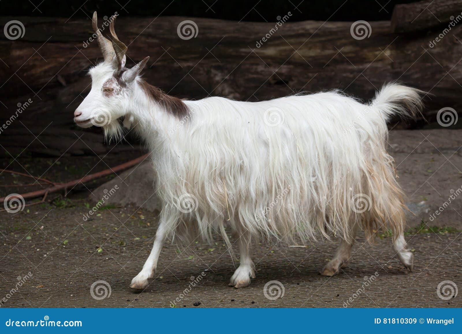 Hircus aegagrus Capra козы Girgentana