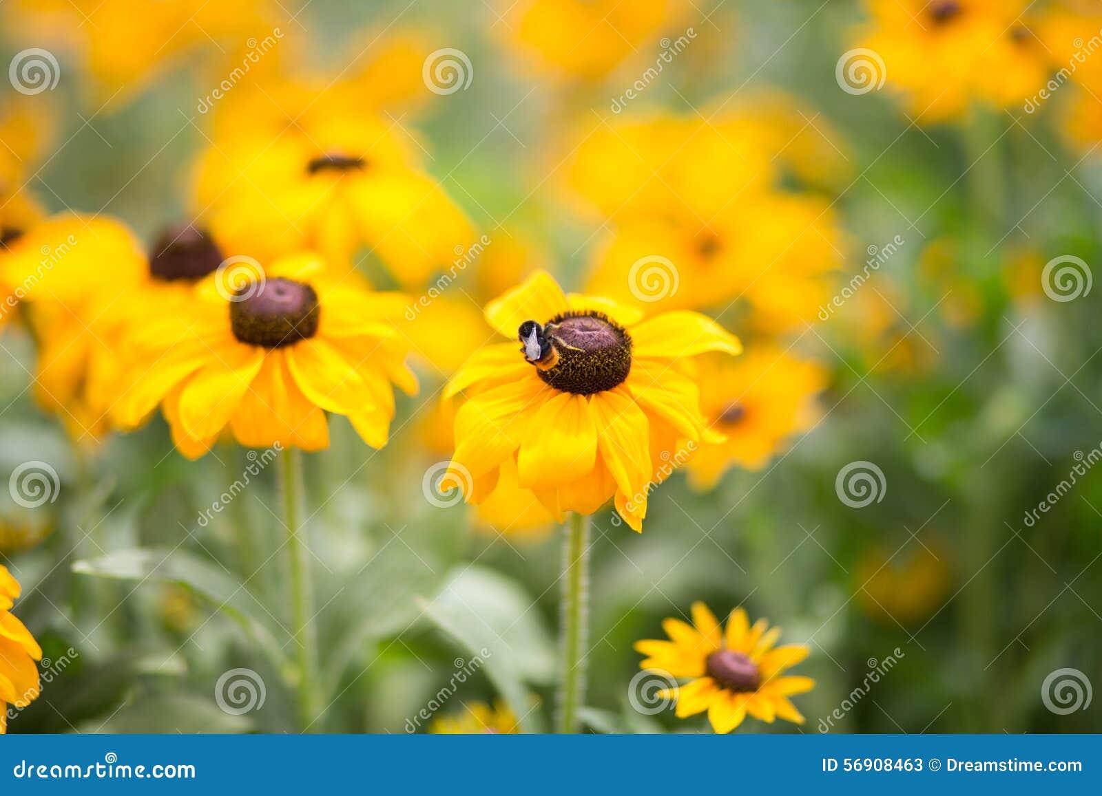 Hirta Rudbeckia, μαύρος-eyed-Susan - εικόνα αποθεμάτων