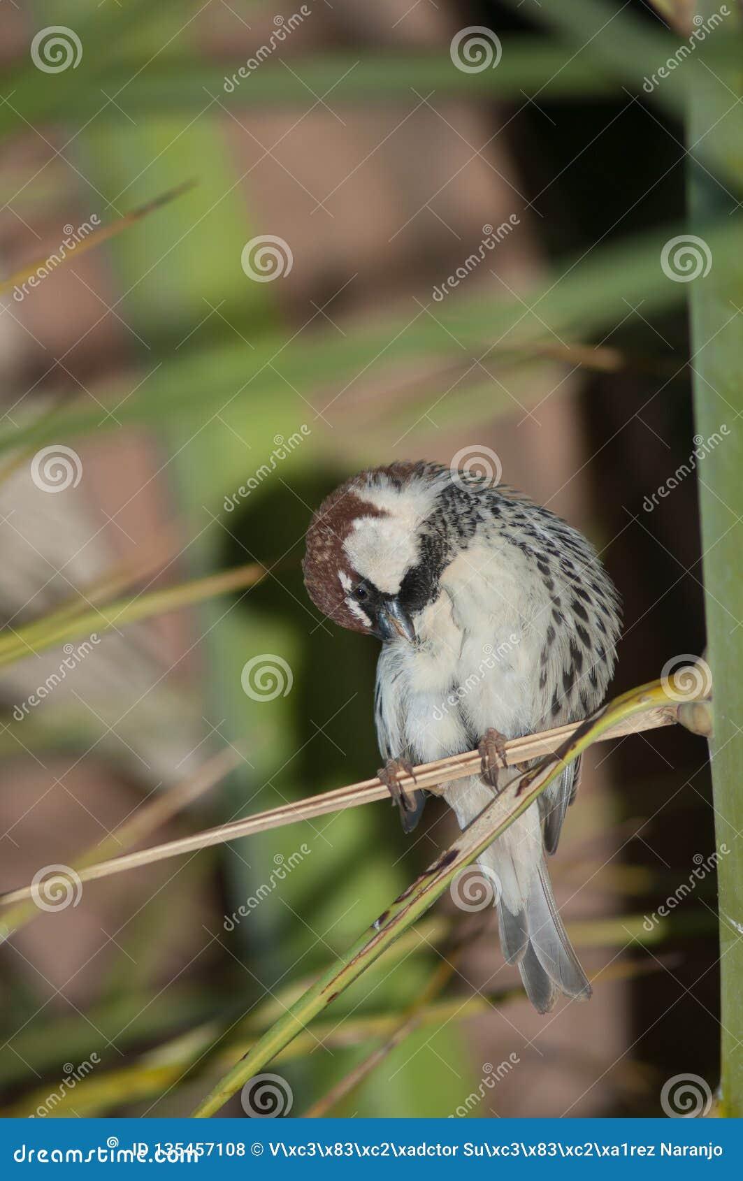 Hispaniolensis przechodnia spanish wróbel