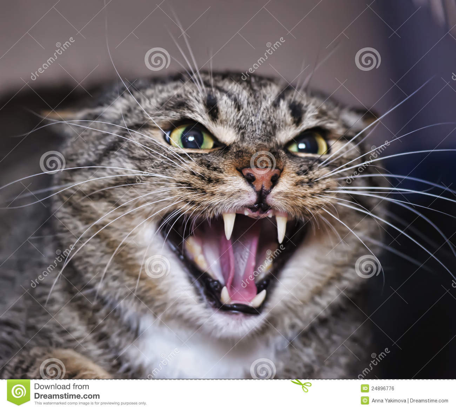 Hissing γάτα