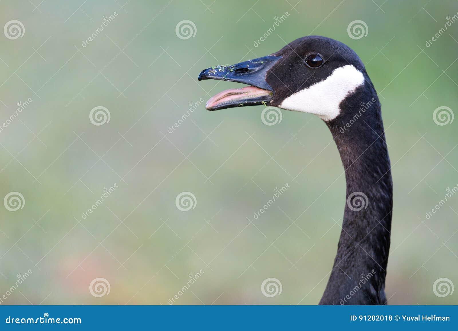 Hissing Canada Goose Branta Canadensis