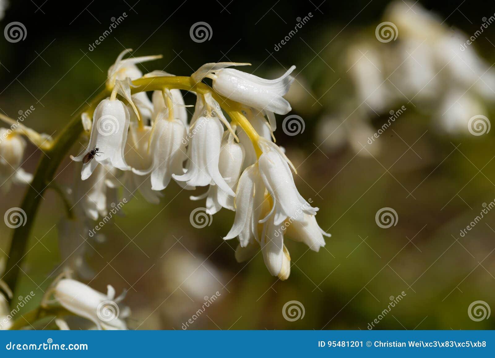 Hiszpański bluebell hyacinthoides hispanica