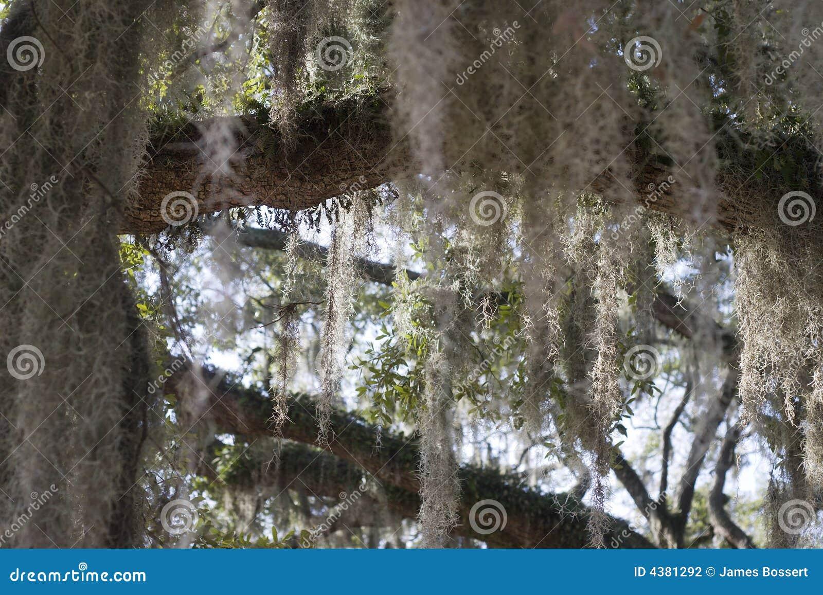Hiszpański moss