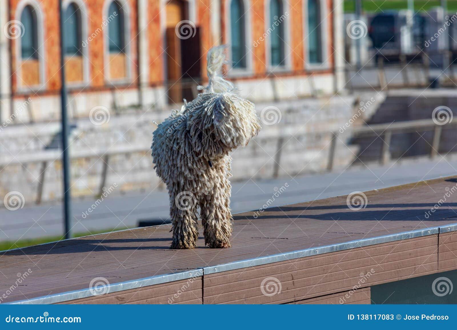 Hiszpański wodny pies Cantabrian - Barbet traken przedpole